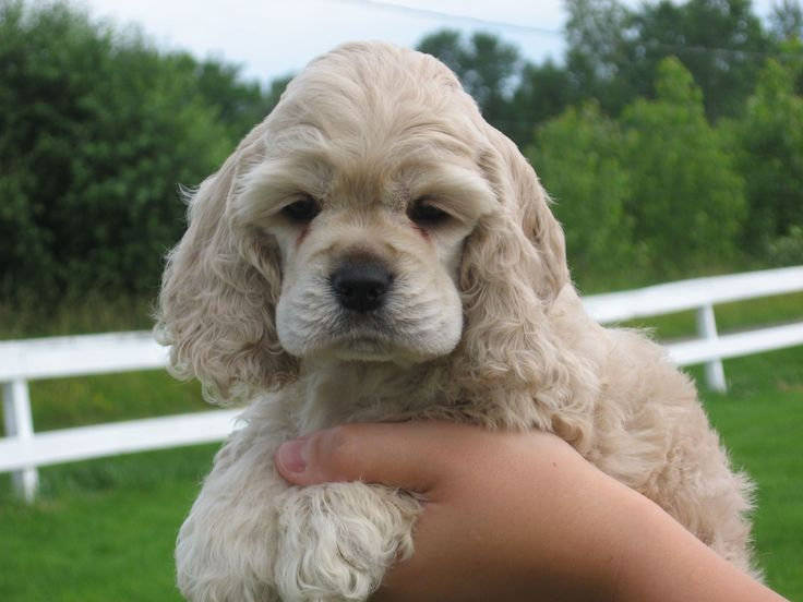 cocker spaniel blonde puppy. I miss my Abbey. Bijou also would love a sister!