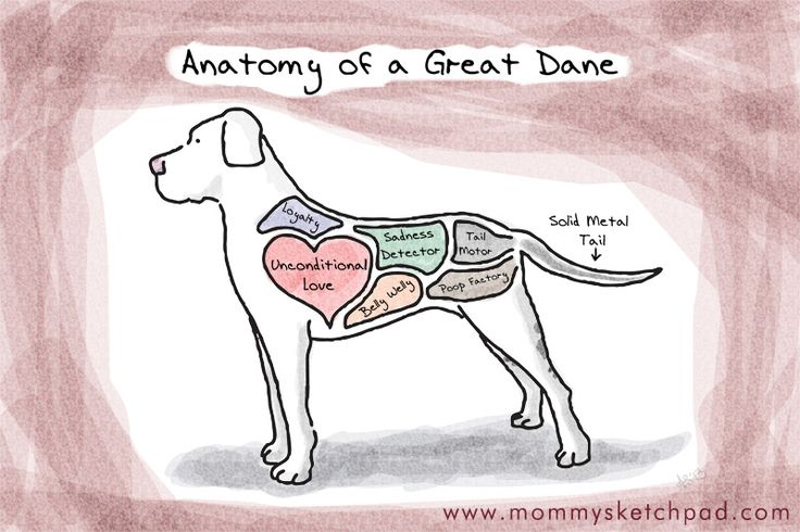 Anatomy of a Great Dane