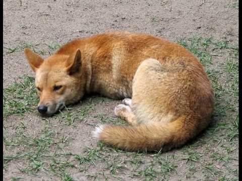 Didgeridoo Nature Australia  ° Outback - Baka - Dingo go °