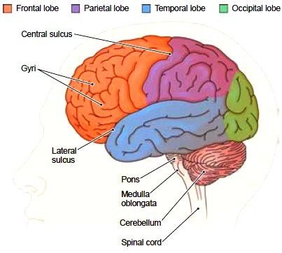 The Cerebral Hemispheres  Each cerebral hemisphere is divided into four visible lobes named for the overlying cranial bones. These are the frontal, parietal, temporal, and occipital lobes (Fig. 6-6). In addition, there is a small fifth lobe deep within each hemisphere that cannot be seen from the surface. Not much is known about this lobe, which is called the insula. The outer nervous tissue of the cerebral hemispheres is gray matter that makes up the cerebral cortex (see Fig. 6-3).