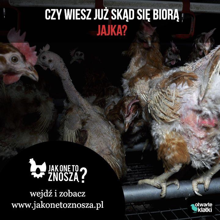 Czy wiesz już skąd się biorą jajka?   Tak wygląda hodowla kur w Polsce. Jak one to znoszą?  Wejdź na www.jakonetoznosza.pl i dowiedz się, jak możesz zmienić los kur niosek w Polsce.