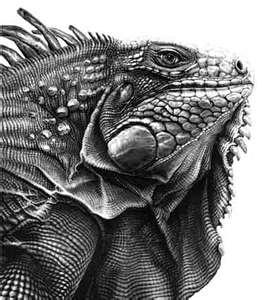 10 mejores imgenes de iguana en Pinterest  Iguanas Animales y