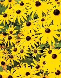 yellow in the garden - Rudbeckia: Farmhouse Gardens, Cloister Gardens, Mellow Yellow, Yellow Gardens, Flower Gardens, Yellow Bloom, Outdoor Gardens, Gardens Design, Gardens Tours