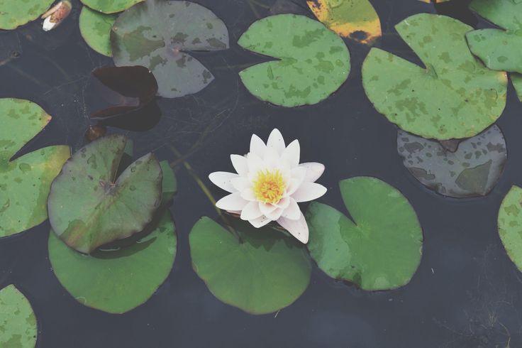 waterflower.flower.beautiful.lake