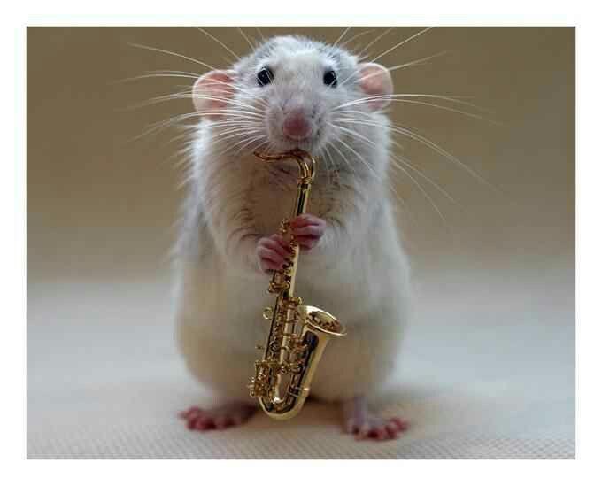Saxo-rat