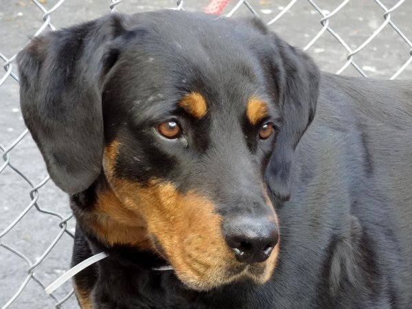 SAFE 5/26/13 Manhattan Center  BONNY A0965376  FEMALE, BLACK/BROWN, ROTTWEILER MIX, 2 yrs Bonnie & Clide were found roaming the strs. together. AVERAGE-rated Bonny is a stunning big girl who clearly likes Clide very much. It would be wonderful if both friends could leave together to live happily w/ their forever master/family. Please share for a live-saving foster or adopter. https://www.facebook.com/photo.php?fbid=612334232112793=a.161896683823219.39456.152876678058553=1