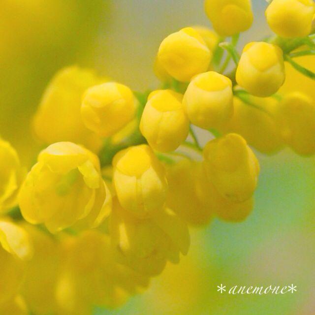 #セイヨウヒイラギナンテン#チャリティー #flower#flowers#花