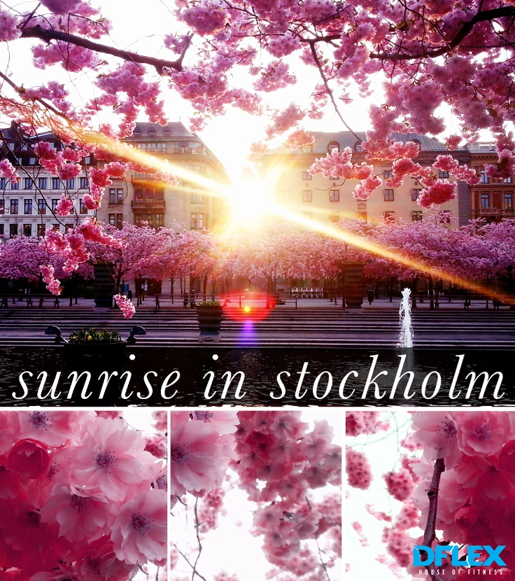 Sunrise over the Japanese Cherry Blossom trees in Stockholm #sweden, #kungsträdgården