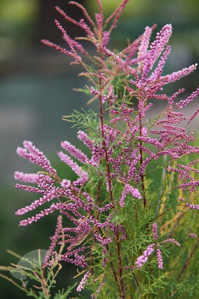 Buy tamarisk Tamarix ramosissima 'Pink Cascade': Delivery by Waitrose Garden in association with Crocus