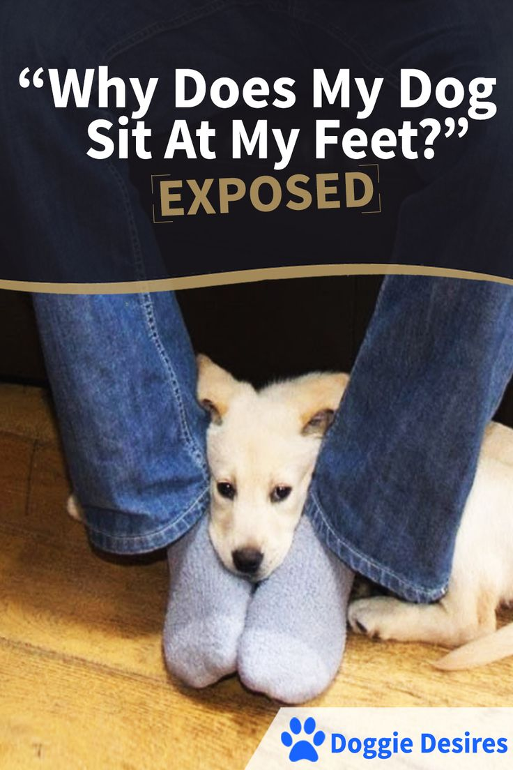 """Why does my dog sit at my feet?"" Exposed! >> http://doggiedesires.com/why-does-my-dog-sit-at-my-feet/"