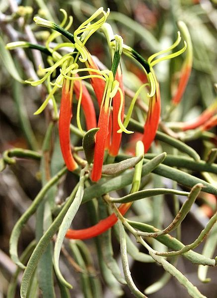 Lysiana exocarpi, commonly known as Harlequin Mistletoe, is a species of hemiparasitic shrub, endemic to Australia. L. exocarpi occurs in arid and temperate regions of all mainland states, from Lake Carnegie, Western Australia, to the Hunter Valley, New South Wales