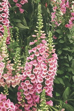 """FOXGLOVE  Camelot Rose  Digitalis hybrida 'Camelot Rose'  Height:36-42""""  Spread:18-24""""  Flowers:Rose with purple spots  Blooms:2-4 weeks, starting late June  Zone:5-9  Soil:Does well in most conditions  Additional Information:  Flowers reliably every year! Good cut flower. Deadhead to produce more blooms."""