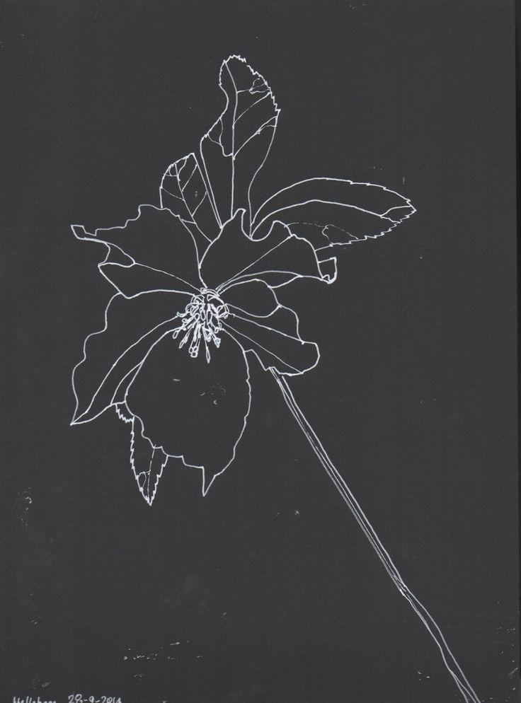 Hellebore, line drawing, Marita Green