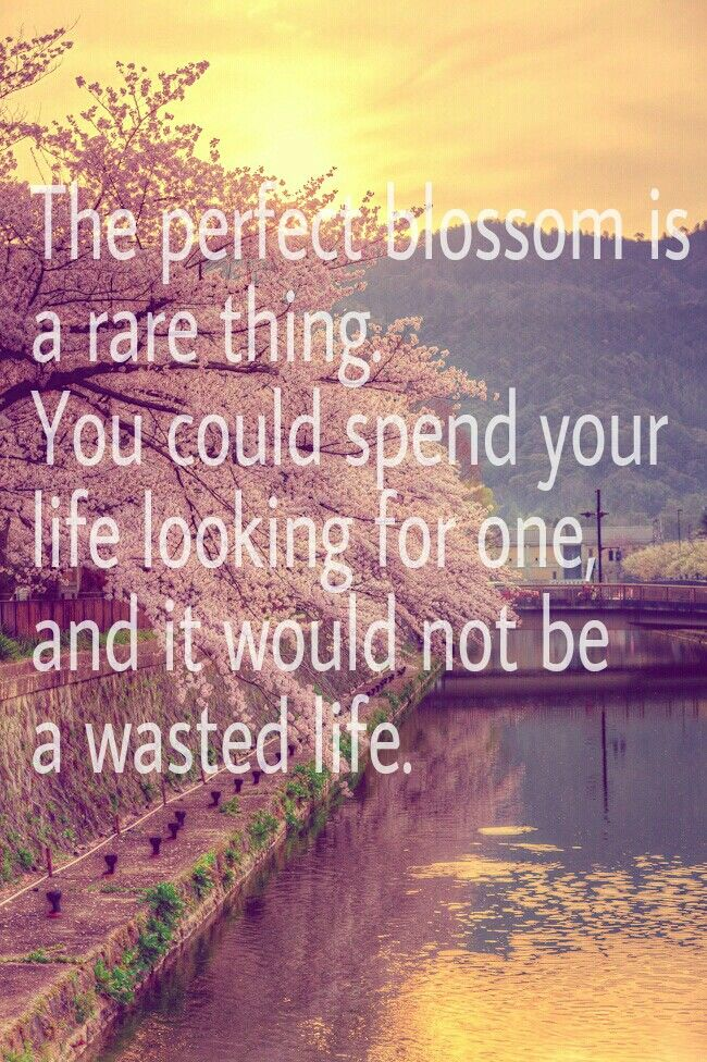 """The perfect blossom is a rare thing. You could spend your life looking for one, and it would not be a wasted life."" - Matsumoto"