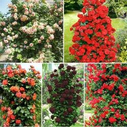 Super ofertă! Trandafiri urcători Culorile iubirii, set de 5 soiuri   Produs similar GradinaMax
