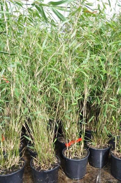 die besten 25 bambus pflanzen ideen auf pinterest. Black Bedroom Furniture Sets. Home Design Ideas