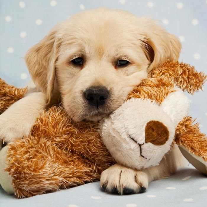 Goldens and their babies...so sweet.