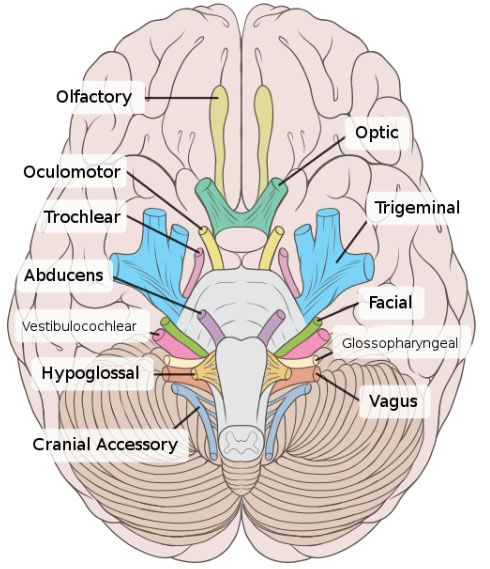 mneumonics cranial nerves | cranial nerve 1 olfactory the olfactory nerve is responsible for the ...