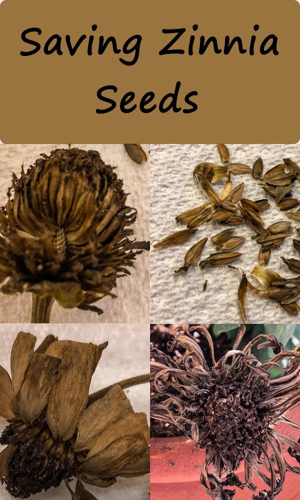 How To Save Zinnia Seeds In 2020 Zinnia Garden Zinnias Zinnia Flowers