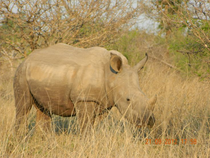 Rino in Kruger National Park, South Africa
