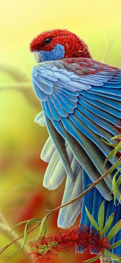Crimson Rosella - Christopher Pope, an Australian wildlife artist.