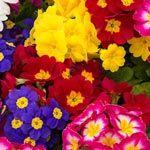 Buy Hardy English Primrose at Spring Hill Nursery
