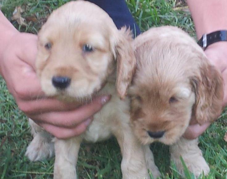 Spaniel Spoodle Puppies Kraaifontein Gumtree South