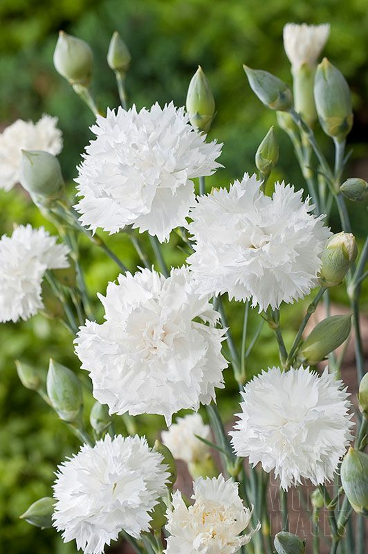floraison de mai juin attraits grosses fleurs blanches doubles parfum es utilisation. Black Bedroom Furniture Sets. Home Design Ideas