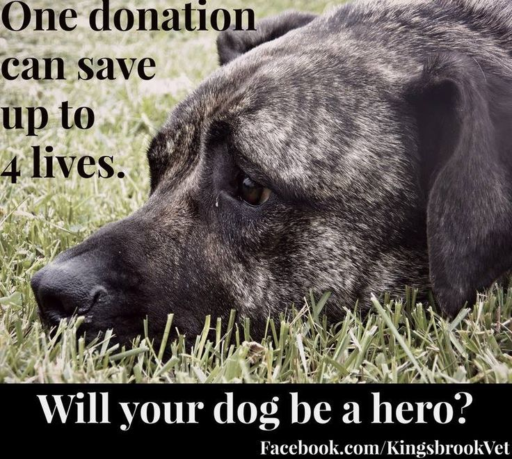 In less than 45 minutes, your dog could save up to 4 canine lives. Will your dog be a canine hero? #AnimalHospital #Veterinarian #Pets #KAH #FrederickMaryland #KingsbrookAnimalHospital #Vet #BloodDonation #CanineBloodDoners #CanineHeroes #BlueRidge #BloodBank