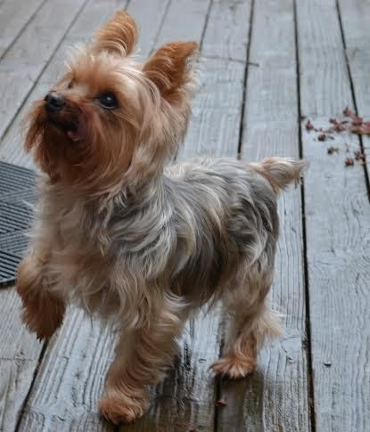 Two year old yorkshire terrier