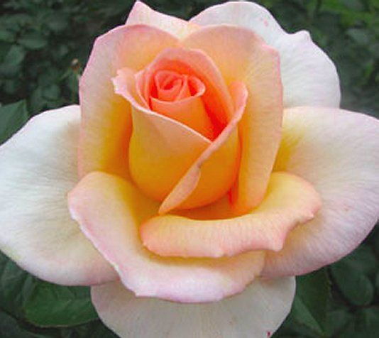 'Always Remember Me' Hybrid Tea Rose
