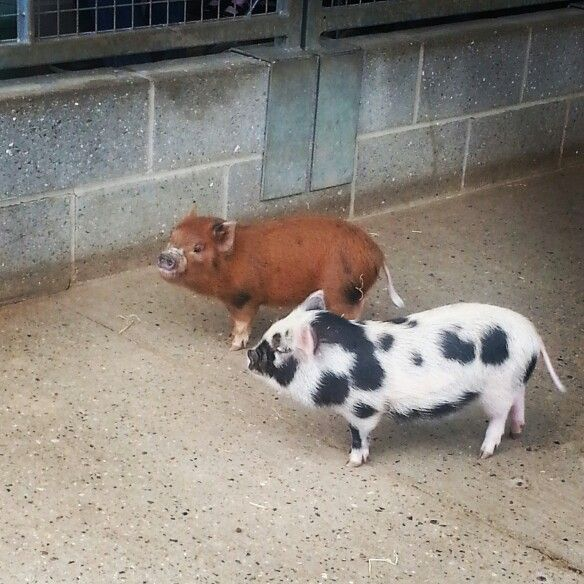 Micro pigs from Wroxham barns