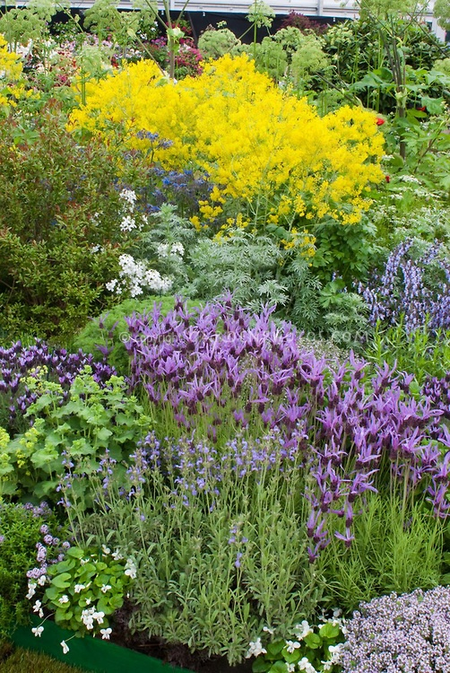1000+ Ideas About Spanish Lavender On Pinterest