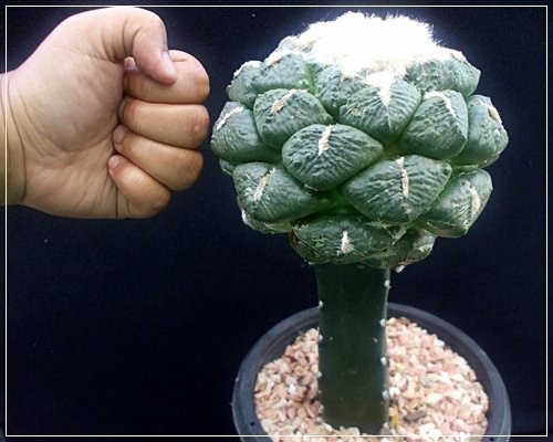 Grafted Cactus Tree