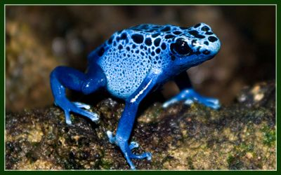 Blue Poison Dart Frog • Elmwood Park Zoo | Elmwood Park Zoo | www ...