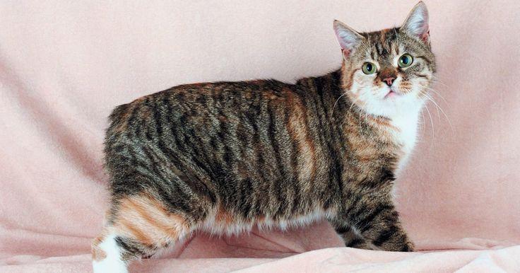 Quais são as causas de um gatinho ter rabo curto?. Os gatos adultos possuem um comprimento de rabo com cerca de 25 cm, contendo entre 21 e 23 vértebras. Gatinhos de rabo curto têm uma mutação genética que faz com que eles se pareçam diferentes do que aqueles que têm o rabo completo. Os rabos dos gatinhos de rabo curto variam de nada para um total de 25 cm com uma aparência dobrada ou enrolada. ...