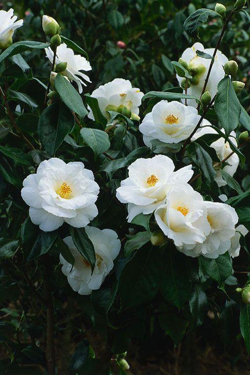 Camellia japonica 39 lovelight 39 cam lias brancas - Camelia planta ...