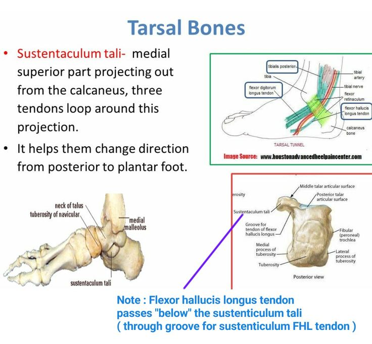 sustentaculum tali (*) note: of these three tendons tibialis, Human Body
