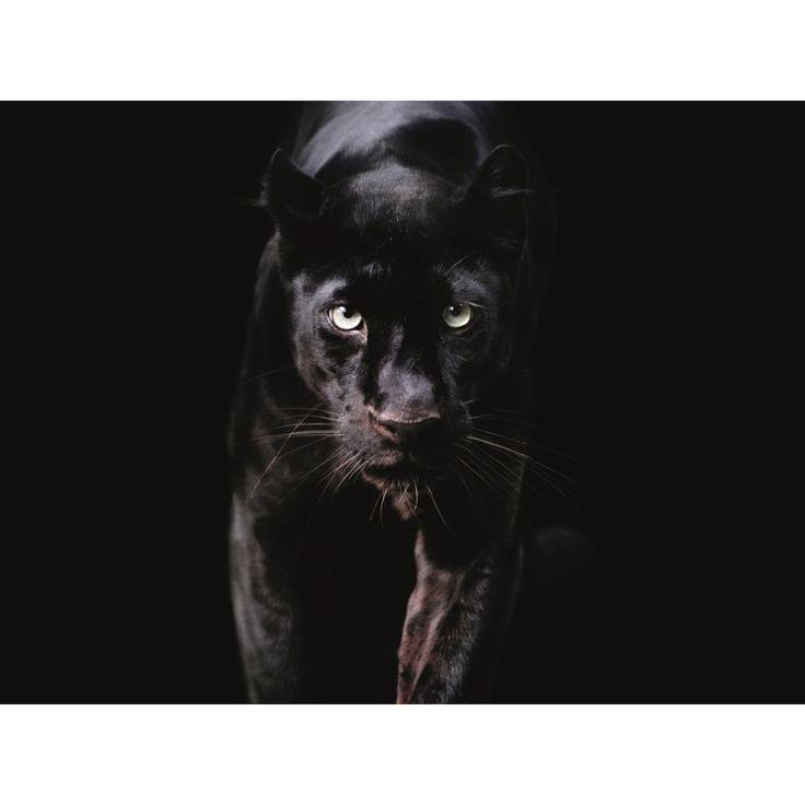 Affiche L 60 X H 80 Cm Panthere Affiche Panthere Noire