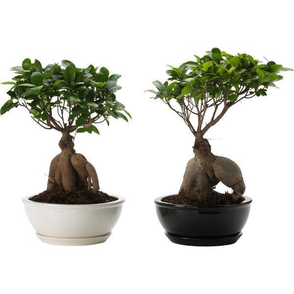 best 25 ficus microcarpa ideas on pinterest ficus ginseng bonsai bonsai ficus and ficus. Black Bedroom Furniture Sets. Home Design Ideas