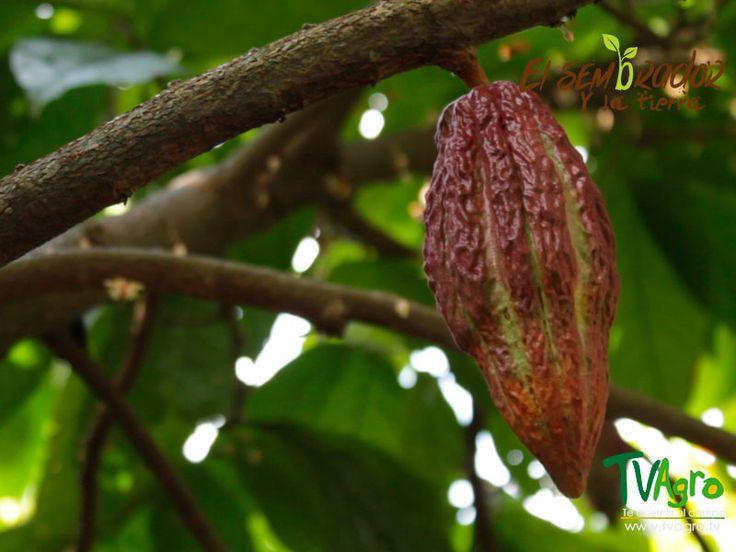 ElSembrador yLaTierra: Santo Aroma Cacao familiar.