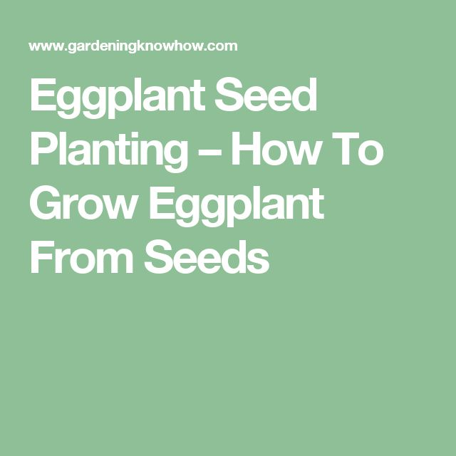 Eggplant Seed Planting – How To Grow Eggplant From Seeds