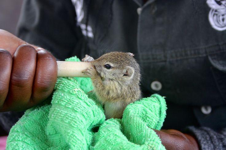 Hand feeding a baby squirrel