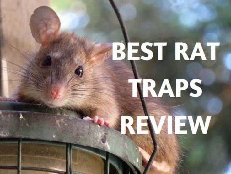17 Best Ideas About Rat Traps On Pinterest Live Rat