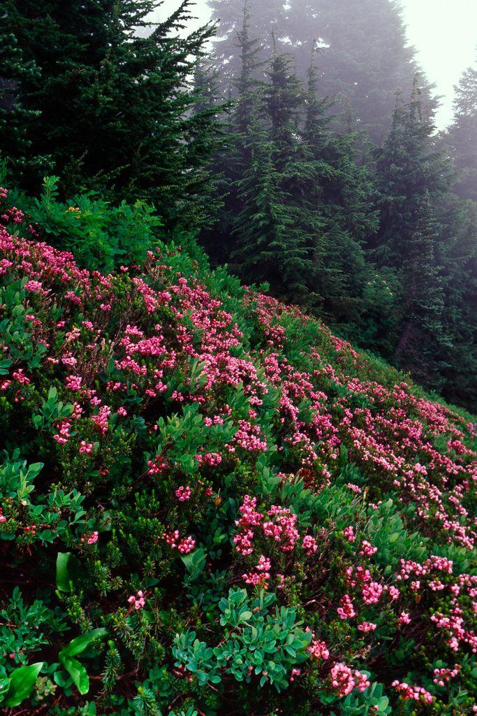 touchdisky:  Red Mountain Heather (aka Pink Mountain Heath), Olympic Mountains, Olympic National Park, Washington State | USA by Lee Rentz