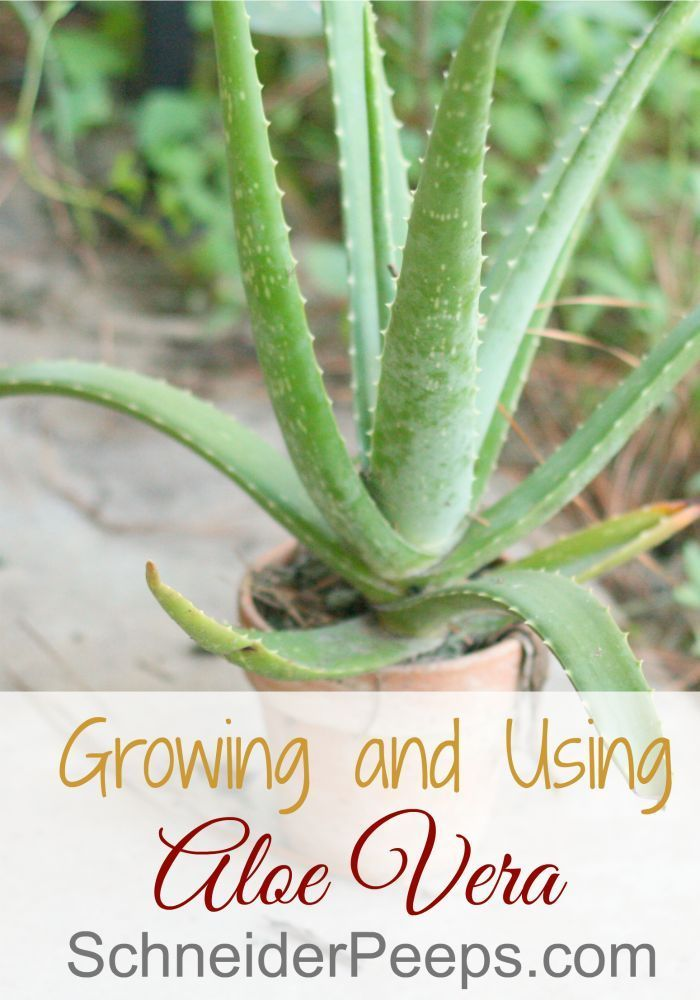 Every house should have an aloe vera plant. Not only is it good for burns but…