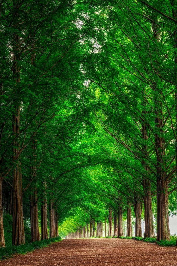 Metasequoia Road, Damyang, Korea