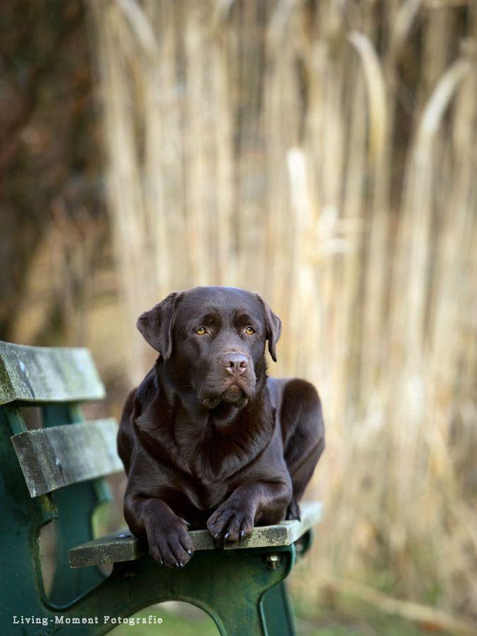 Labrador-Hündin by Andrea Strunk on 500px