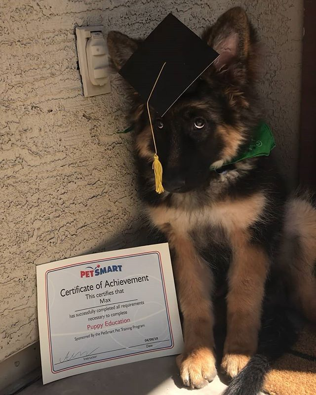 Max Graduated His 6 Week Long Puppy Education Training Long Coat