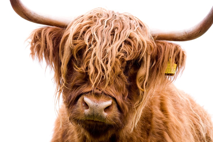Highland cow in the New Forest  Photo by Tracey Rupp Rawlins